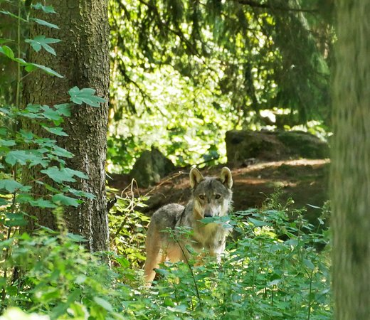 Egloffstein, Alemania: Wolf