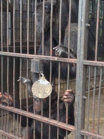 Chimpanzees on Ngamba Island