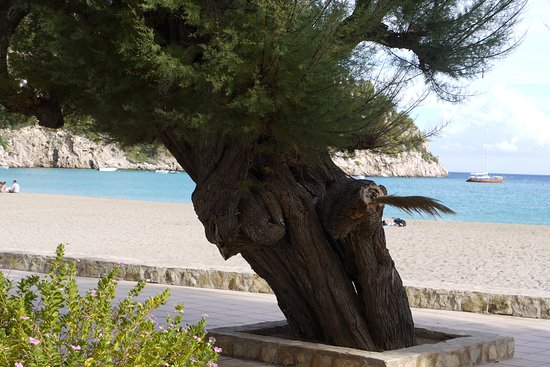 Cala de Sant Vicent, Испания: Obrovský strom na promenádě u pláže v Cala de Sant Vincent