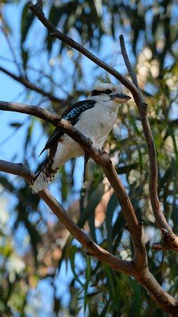 Kennett River Wildlife: laughing kookaburra