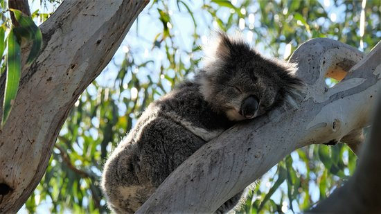 Kennett River Wildlife: koala! We saw several but this one was by far the closest and easiest to photograph