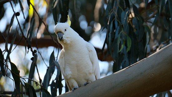Kennett River Wildlife: sulphur crested cockatoo