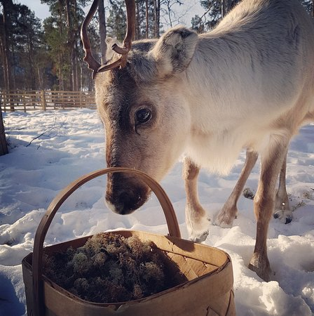 Beautiful young female Reindeer. It is our youngest son´s. Learn about Reindeer herding at our farm.