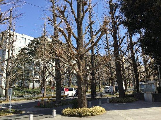Hiyoshi Campus Ginkgo Trees