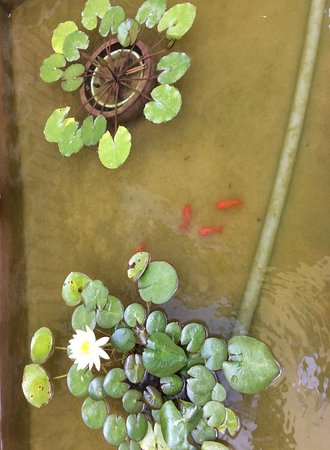 We love seeing fish swimming, beautiful lotus under the path from the gate to the house.