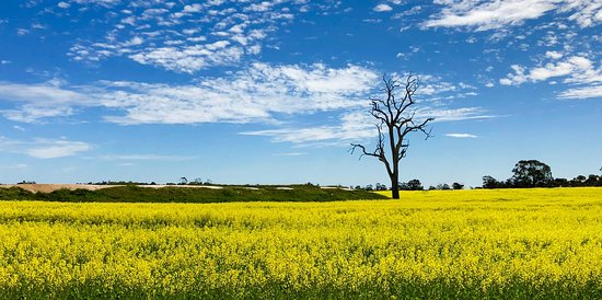 Canola fields near Cranbrook (between Albany and Kojunup)
