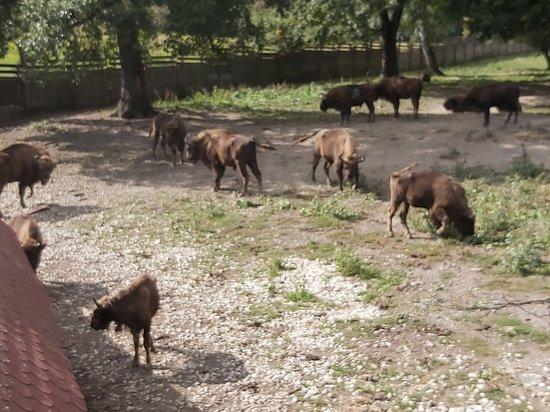 Topolcianky Bison Park: V stáde sä zubry rôzneho veku - od mláďat až po staré kusy. Vodcom stáda je najstaršia samica.