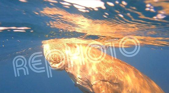 einer von neun Dugongs im Rotem Meer in der Bucht