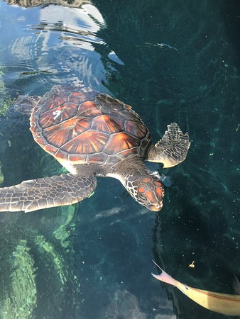 Maui Ocean Center Admission Ticket: One of the several 1-year-old sea turtles on exhibit.