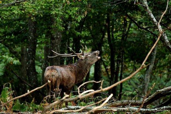 Parc Naturel de Chambaran: Cerf en train de bramer.