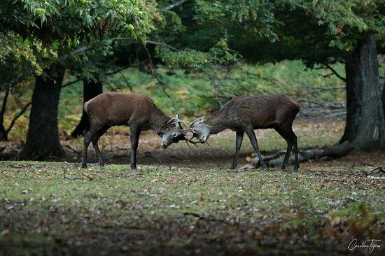 Parc Naturel de Chambaran: Combat entre deux cerfs.
