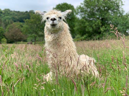 Pembrokeshire Llamas