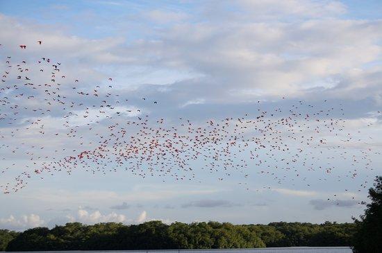 Caroni Bird Sanctuary: Flock of scarlet ibis