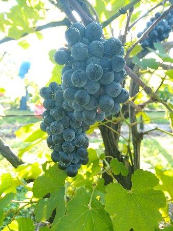 Basehor, KS: Cythiana grapes at the vineyard.