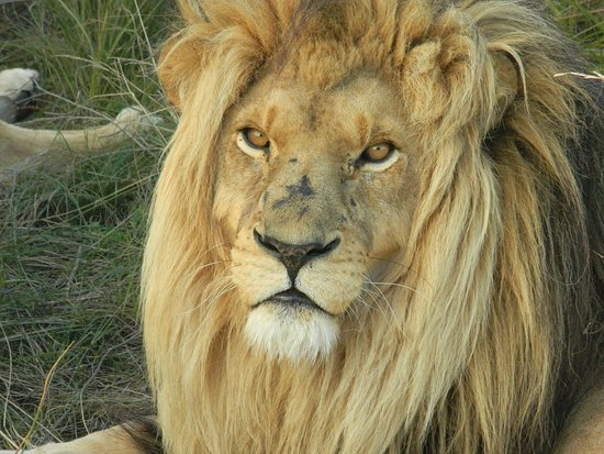 Bellville, Zuid-Afrika: See some lions on our Garden route adventure tour! 7 Days packed with adventure and animals. Visit 2 National Parks, go Surfing in Jeffrey's Bay and many more! An opportunity not to be missed