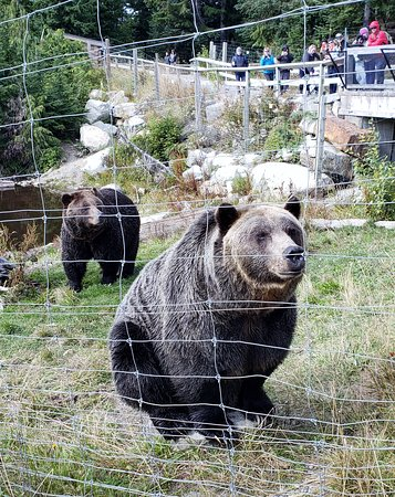 Grouse Mountain Admission: Bella & Coola grizzlies