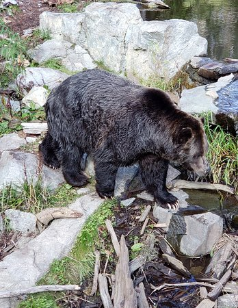 Grouse Mountain Admission: grizzly