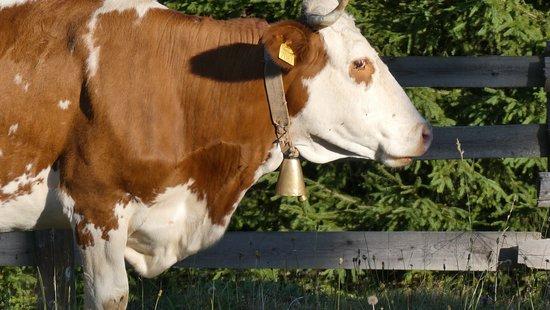Campeni, โรมาเนีย: Cows (taken with zoom)