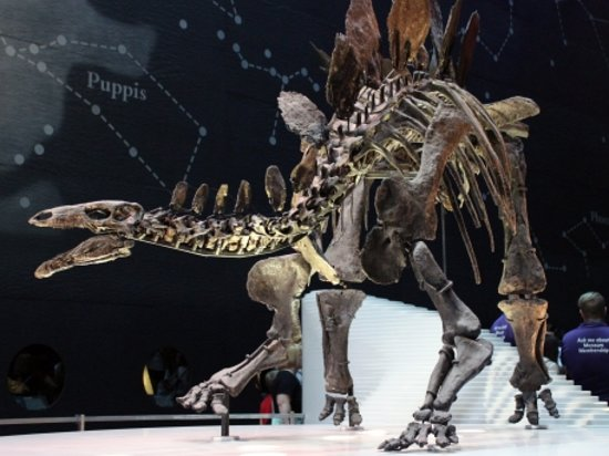 The most complete stegosaurus skeleton in the world