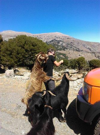 Zeus Cave & Lassithi Plateau (Safari Adventure Offroad Excursion): Towarzyskie kozy