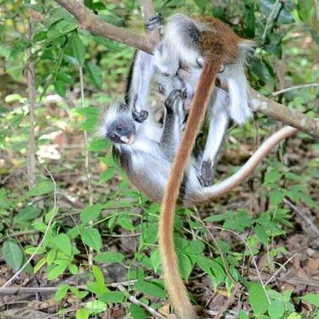 Jambiani, Tansania: Monkey
