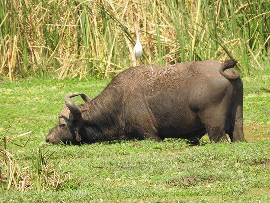 African buffalo with egret on top in Lake Manyara