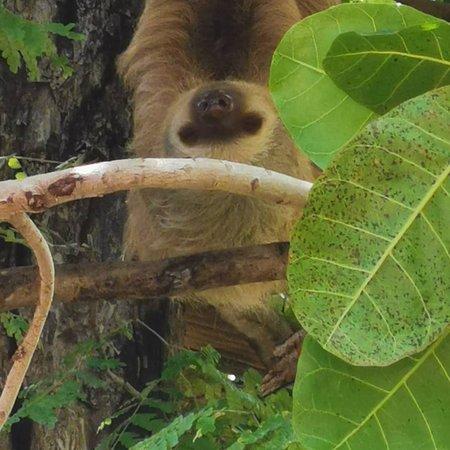 El famoso oso perezoso, a el lo pueden ver en el diamante eco adventure park y si están con suerte lo van a ver despierto colgando de las ramas