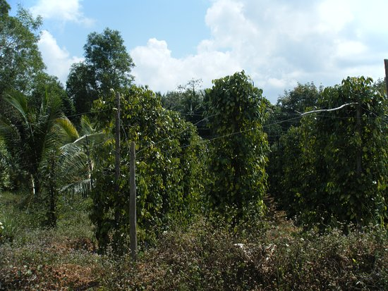Ostrov Phu Quoc, Vietnam: champ de poivriers
