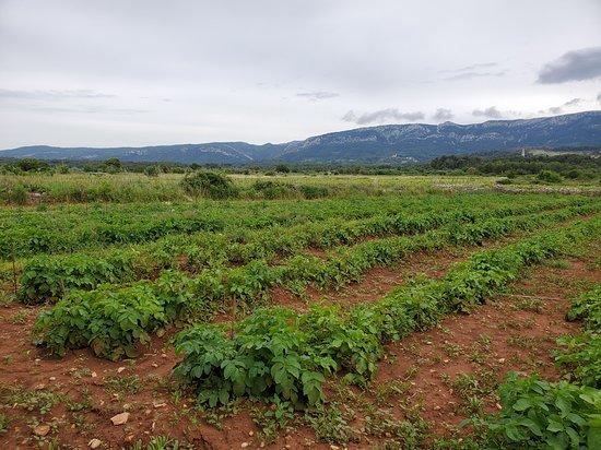 Local Life Tour: Grgo's farm - I forgot what they were - potatoes?
