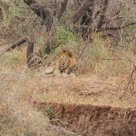 Tarangire Day Tour: Lion