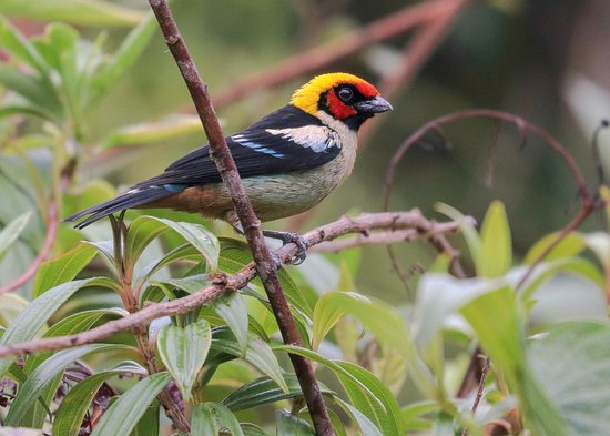 Puerto Maldonado, Peru: The Flame-faced Tanager ... is one of the most spectacular members of the diverse and exceptionally colorful genus Tangara. Satipo road - Junin Peru . Join us on 2020 for successful .... Where Is Your Next Experience ... !! Enquire now at. . http://www.birdsofperutours.com