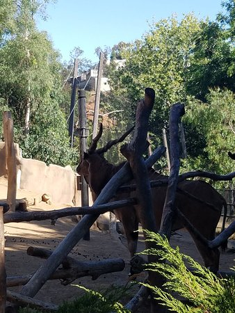San Diego Zoo Ticket: African Eland at the SD Zoo