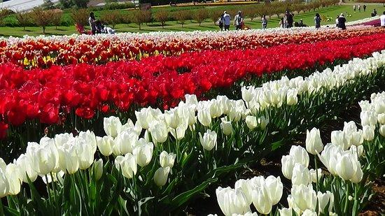 Skip the Line: Tesselaar Tulip Festival General Entry Ticket: Carpet of blooms