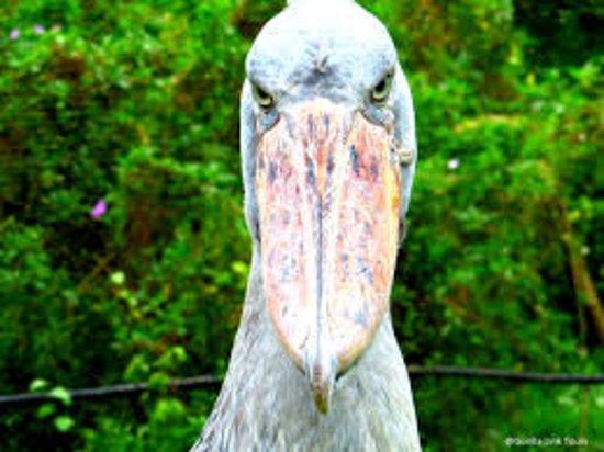 Ngamba Island, Oeganda: check the magnificient shoe-bill stork in Uganda @ Ngamba