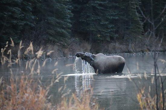 Chena Hot Springs, AK: Moose at Beaver pond