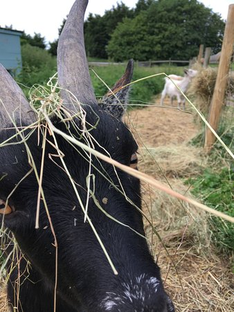 Cookley, UK: Jasper - one of our pygmy goats playing the fool !