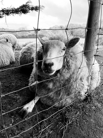 Cookley, UK: Our pet sheep relaxing in the paddock before feeding time
