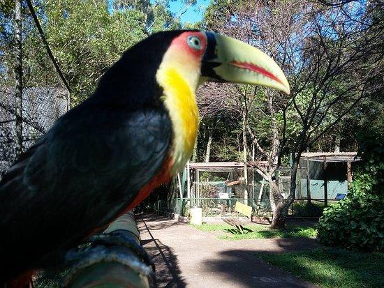 Tucano do bico verde