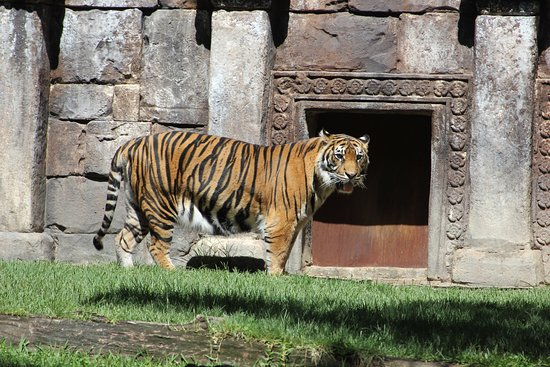 A Tiger in the Bioparc