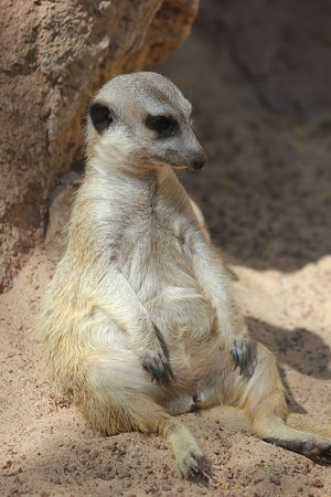 A Seated Meerkat