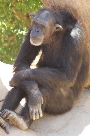 A restful chimp