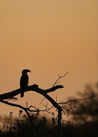 Hornbill at Dusk