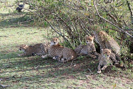 """Serengeti Series"" famous Cheetah Mom and Cubs"