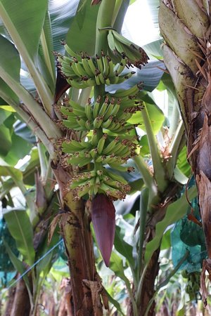 More bananas