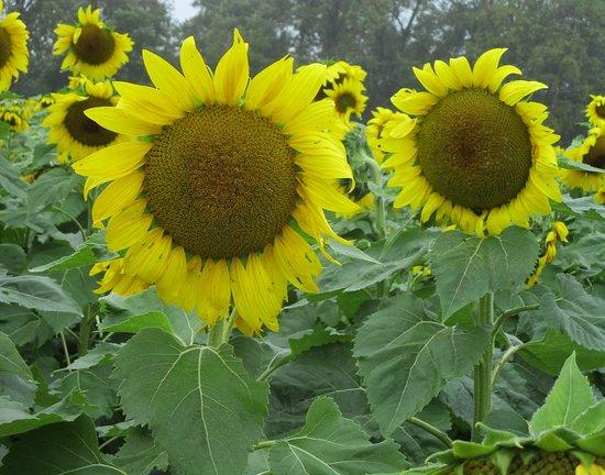 Sunflowers in Jarrettsville
