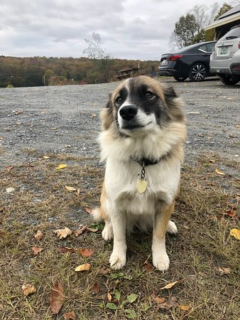 Millie, the official greeter at Silloway  Maple