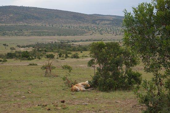 4-Day Masai Mara, L Naivasha and L Nakuru - Private safari: Lion in Massai mara