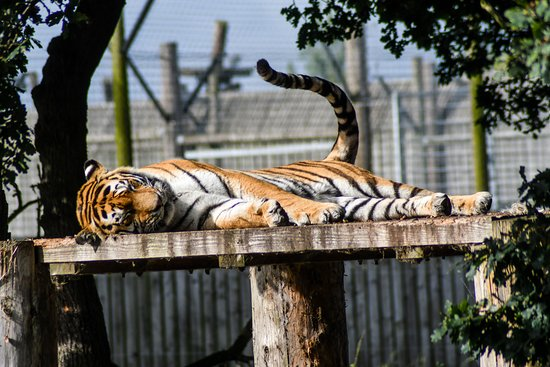 ‪دونكاستر, UK: Tiger asleep in the sun‬
