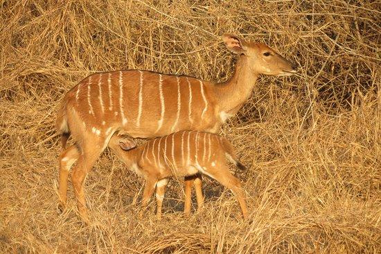 Manyoni Private Game Reserve, Zuid-Afrika: Nyala suckling