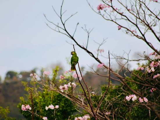 St. Ann's, Trinidad: Just one of the multitude of parrots that live on the hill